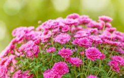 Więcej o: Pomagamy producentom chryzantem! – ponownie rozdajemy kwiaty
